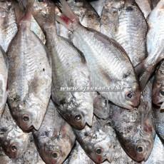 병어 맛이나는 생선