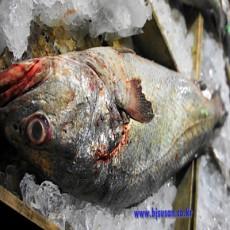 횟감용 신안산 민어 1마리 8kg